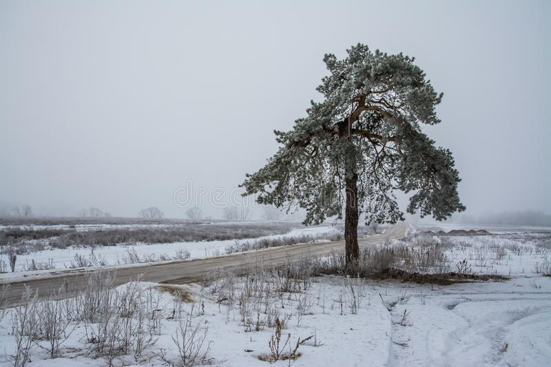 Lonely standing tree in winter in the early morning stock photo