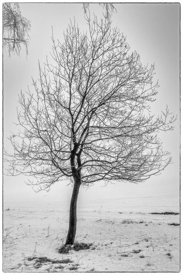 Lonely standing tree in winter in the early morning royalty free stock photography