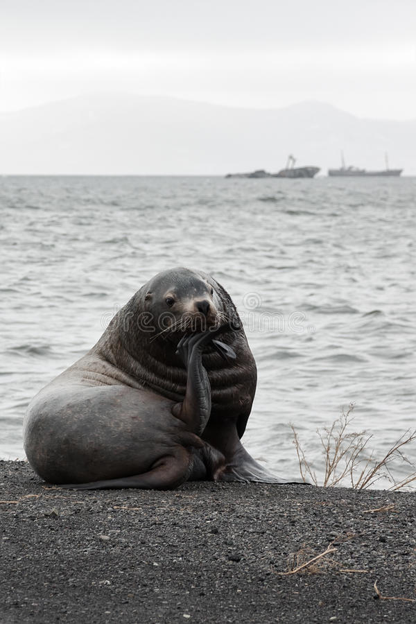 Lonely Steller Sea Lion (Eumetopias Jubatus) on the beach. Nature of Kamchatka: lonely Northern Sea Lion (Eumetopias Jubatus) on the beach. Avacha Bay, Kamchatka stock image