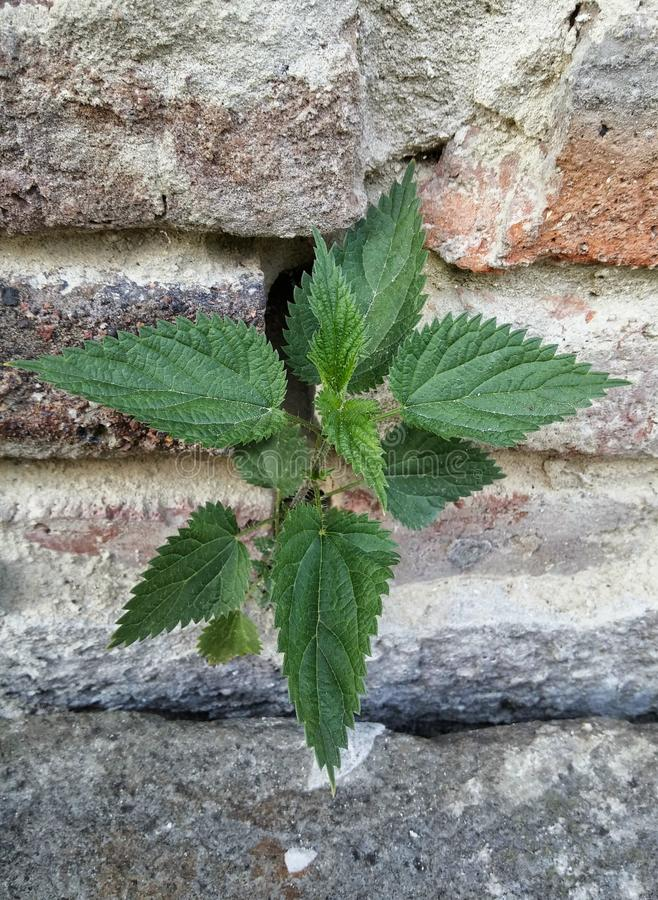 A lonely stinging-nettle stock photos
