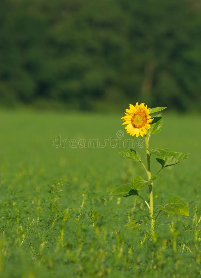 Lonely sunflower stock images