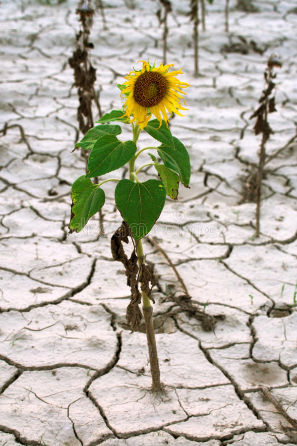 Lonely sunflower. Dry season in the sunflower field stock image