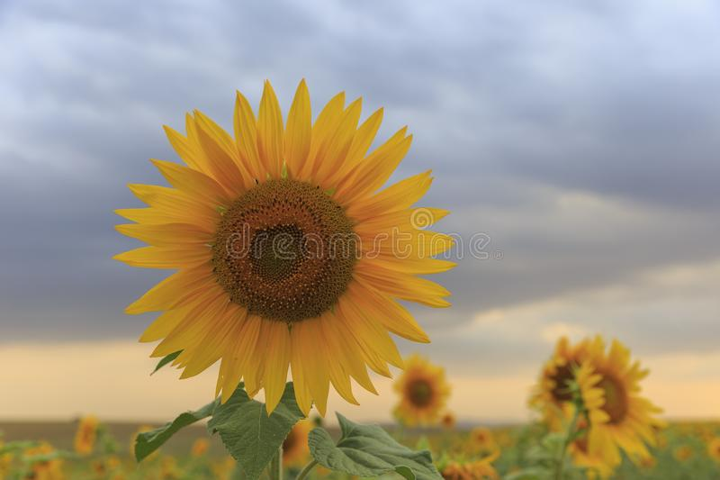 Lonely sunflower against a cloudy sky royalty free stock photography