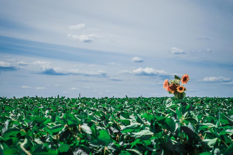 Lonely sunflower bush with yellow flowers stock images