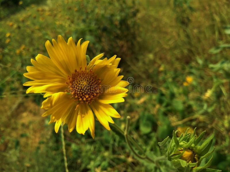 Lonely Sunflower stock photography