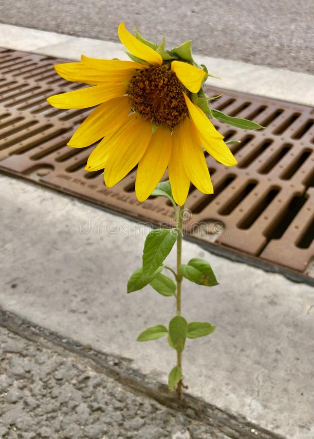 Lonely sunflower sprouted through asphalt royalty free stock image