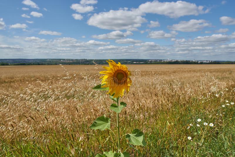 A lonely sunflower royalty free stock photos