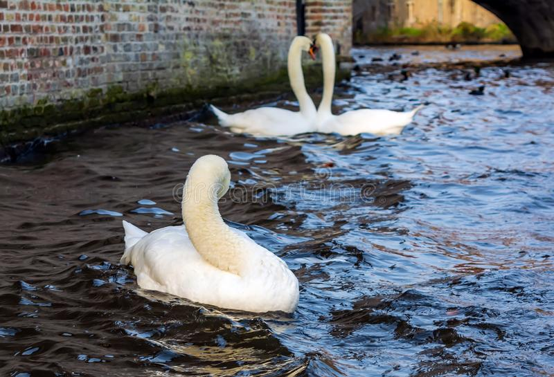 Lonely swan on the Bruges canal with romantic couple of swans in the background royalty free stock photos