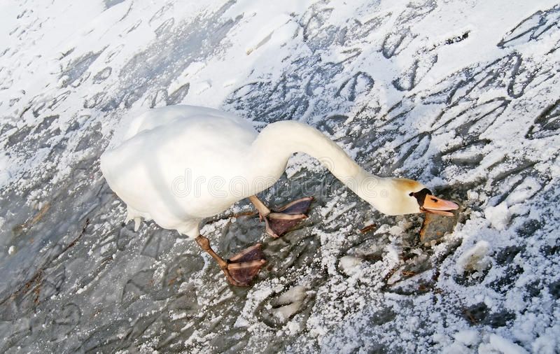 Download Lonely swan on ice stock image. Image of perfect, brown - 29124707
