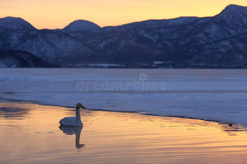A lonely swan on ice lake at sunset. A lonely swan on Akan lake in Hokkaido of Japan at winter sunset royalty free stock images