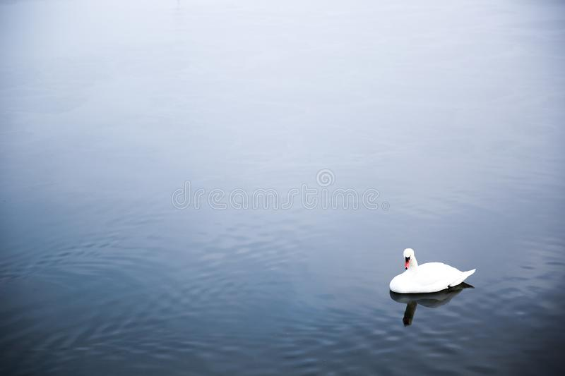 Lonely Swan at a lake royalty free stock images