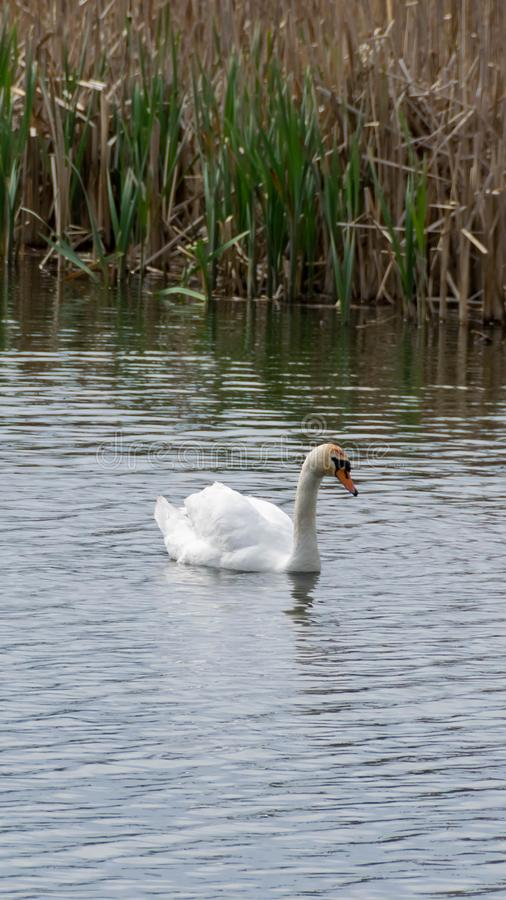 Lonely swan on a lake. White swan swims. Ripples on the water and dry reeds in the background stock images