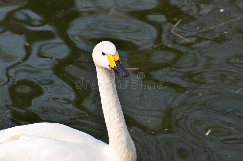 The lonely swan stock photo