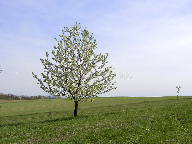 Download Lonely tree stock photo. Image of blooming, single, flowers - 1114