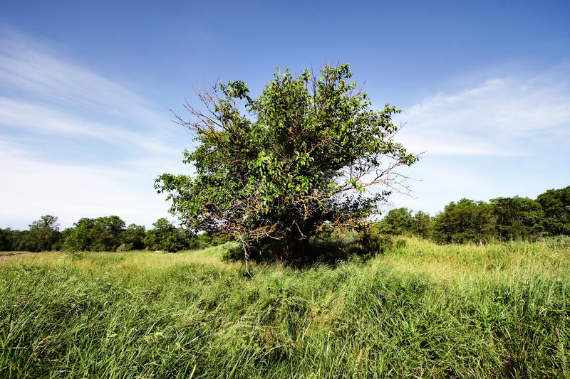 Download Lonely tree. stock image. Image of scenic, foliage, wood - 24443995