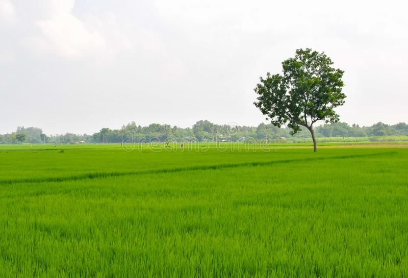 A lonely tree in an agricultural land stock images