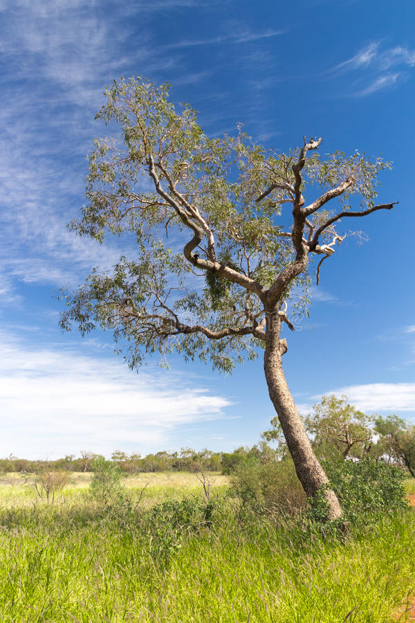 Lonely tree in the Australian dessert stock images