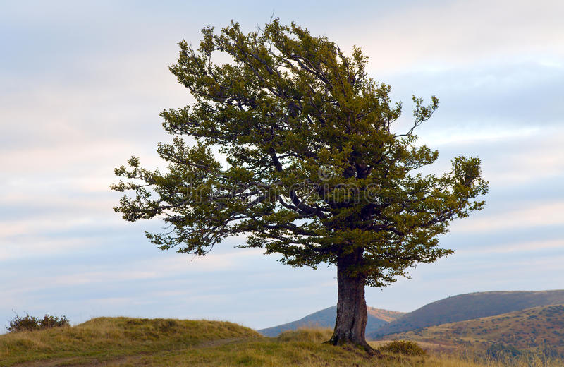 Download Lonely Tree In Autumn Mountain Stock Image - Image of overcast, horizontal: 10919983