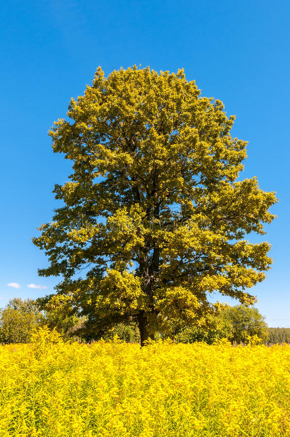 Lonely tree in a bright summer field. Lonely tree in a yellow summer field royalty free stock images