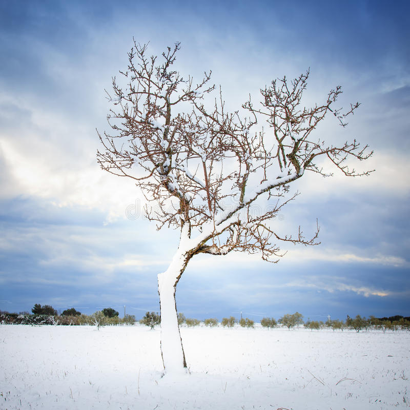 Download Lonely Tree Covered By Snow In Winter. Tuscany, Italy Stock Image - Image of freeze, scene: 35553651
