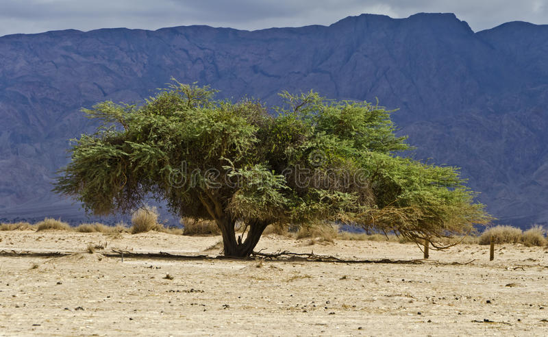 Download Lonely tree in desert stock image. Image of fauna, israel - 22853705