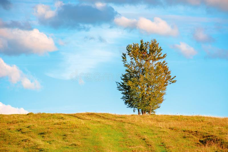 Lonely tree on the hillside in warm evening light. Beautiful countryside scenery at sunset. weathered grass on the meadow. gorgeous turquoise sky with dynamic royalty free stock photos