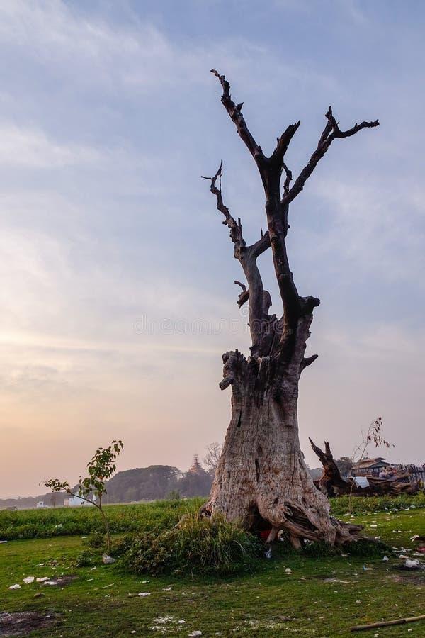Lonely tree nearby Ubein bridge in Mandalay, Myanmar. A huge tree nearby Ubein bridge in Mandalay, Myanmar royalty free stock photo