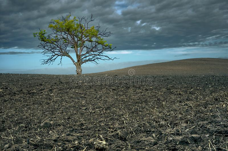 Lonely tree in a plowed field. Old oak in the dark sky background stock image