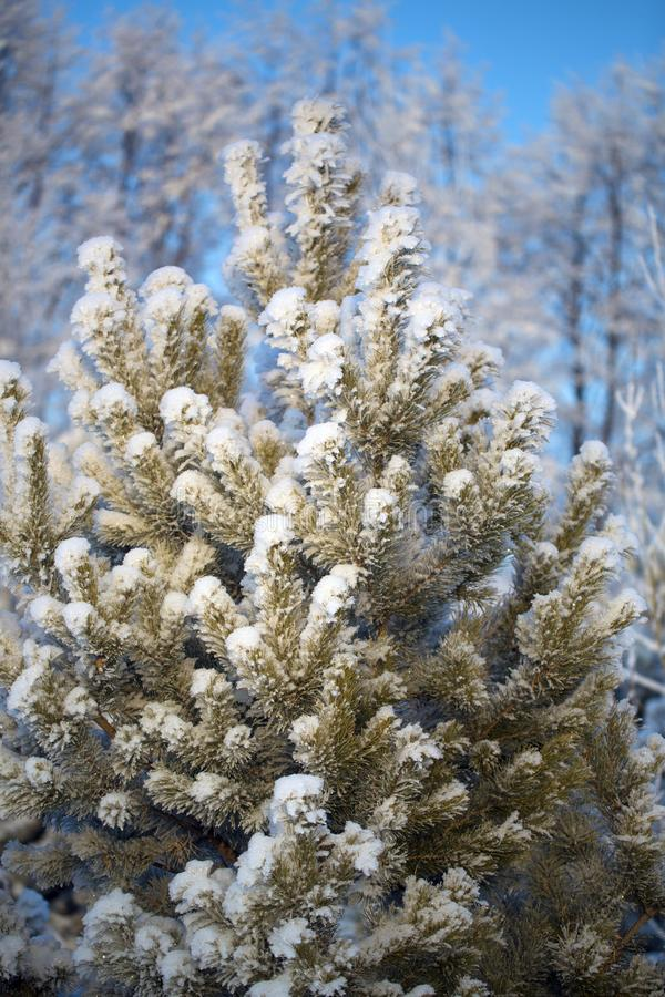 A lonely Christmas tree priporozhennaya snow in the woods. A lonely tree priporozhennaya snow in the forest. blue sky. December stock photos