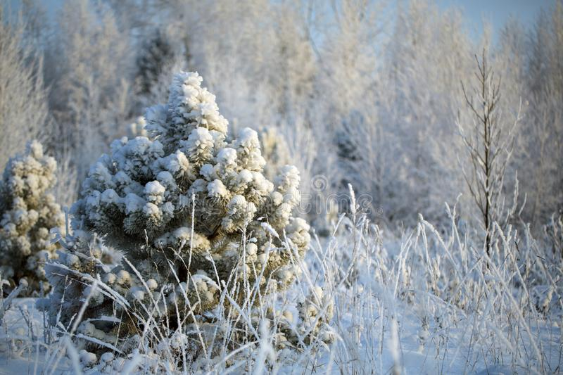 A lonely Christmas tree priporozhennaya snow in the woods. A lonely tree priporozhennaya snow in the forest. blue sky. December royalty free stock images