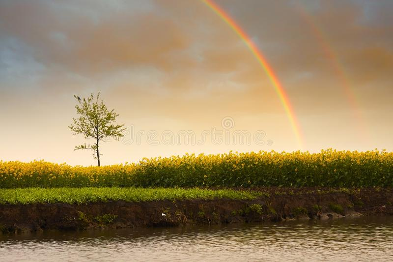 Lonely tree and rainbow. Flowers field with twin rainbows, nature landscape stock images