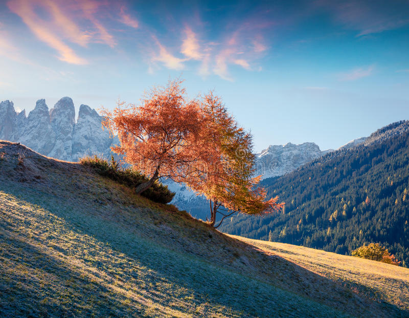 Lonely tree in Santa Maddalena village in front of the Geisler or Odle Dolomites Group. Colorful autumn sunrise in Dolomite Alps,. Italy, Europe. Artistic style royalty free stock photography