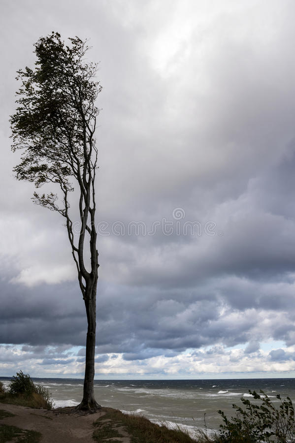 Lonely tree at the sea coast against a cloudy sky on a windy autumn day, concept to persevere and withstand, copy space. Lonely tree at the sea coast against a royalty free stock photography