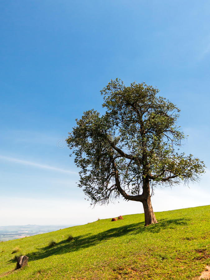 Lonely tree. On sloping green grass hill royalty free stock photography