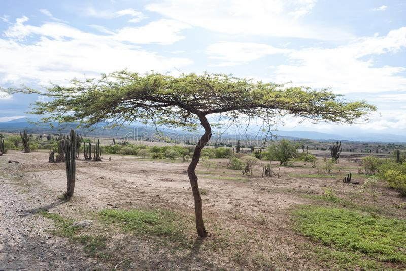 Lonely tree with spined cactus at Tatacoa Desert. Lonely Tree, spined cactus, grass and white sand in Tatacoa Desert, Huila. Colombia landscape background in royalty free stock photo
