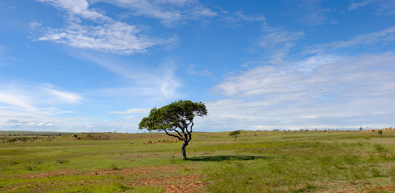 Lonely tree in the steppe of Madagascar royalty free stock photo