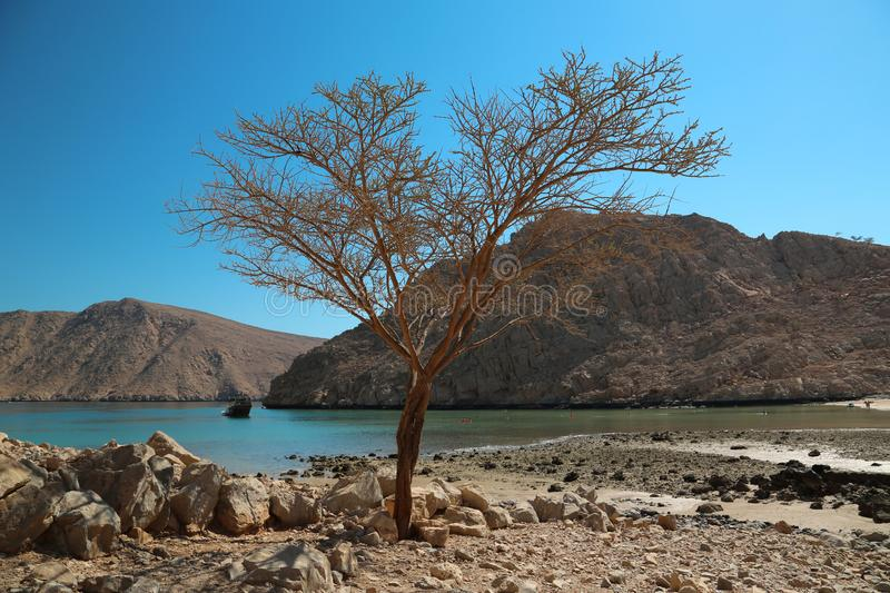 Lonely tree, sultanate of Oman, Musandam peninsula, Gulf of Oman. Lonely tree without leaves. Sultanate of Oman, Musandam, Gulf of Oman. Oman - arab country in royalty free stock images