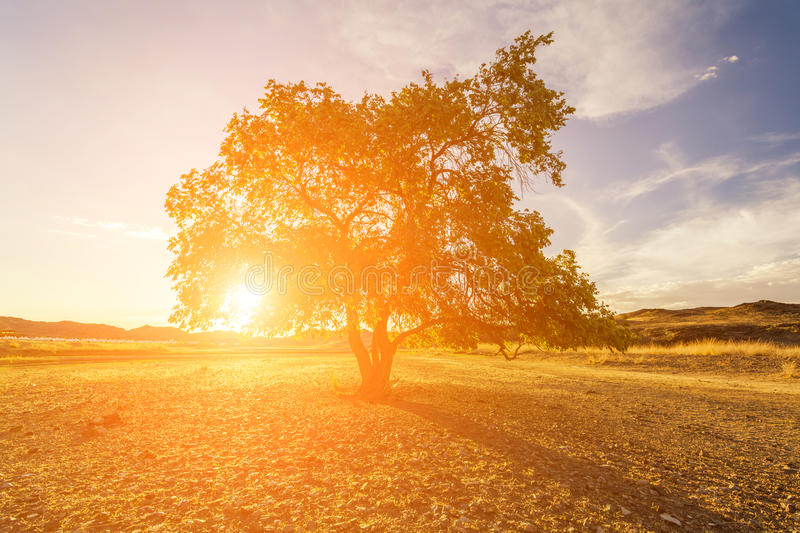 Lonely tree at sunset in the field royalty free stock image
