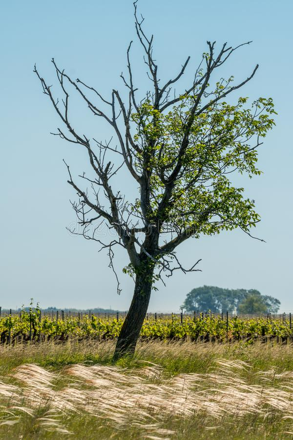 A lonely tree, vineyard and feather gras. Seewinkel Burgenland Austria royalty free stock photography