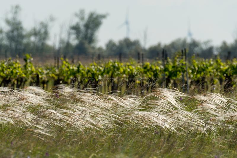 A lonely tree, vineyard and feather gras. Seewinkel Burgenland Austria stock photos