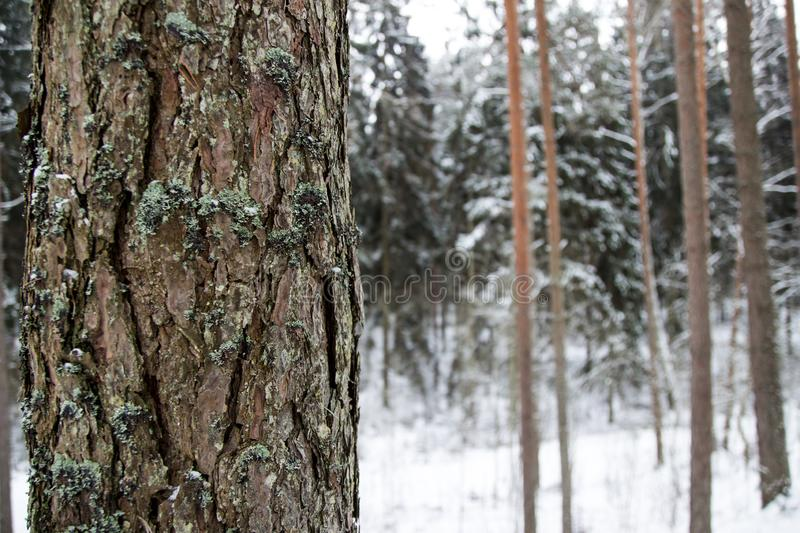 Lonely tree in winter wood stock photos
