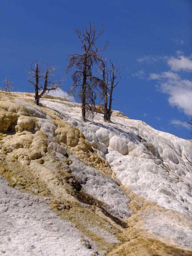 Lonely Trees. Bare trees against a deep blue sky atop a hill of mineral deposits at Mammoth Hot Springs in Yellowstone National Park royalty free stock photo