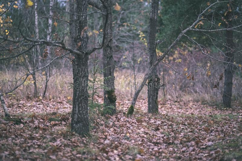 Lonely trees with last colored leaves in branches shortly before winter, dull autumn colors and empty park with tree trunks -. Vintage old film look stock image