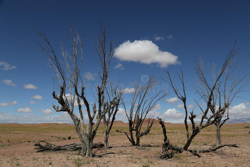 Lonely trees in Ouarzazate royalty free stock photos