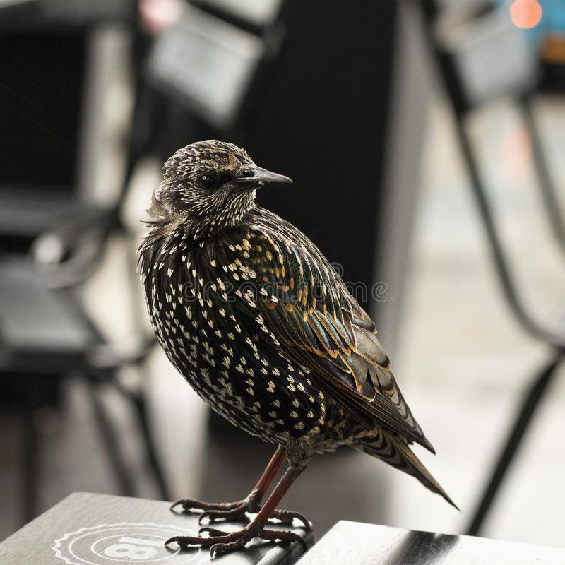 Lonely visitor in a cafe. Sturnus vulgaris. Bokeh. Lonely visitor in a cafe. Management problem concept. Common starling on the table of empty cafe. Sturnus royalty free stock photo