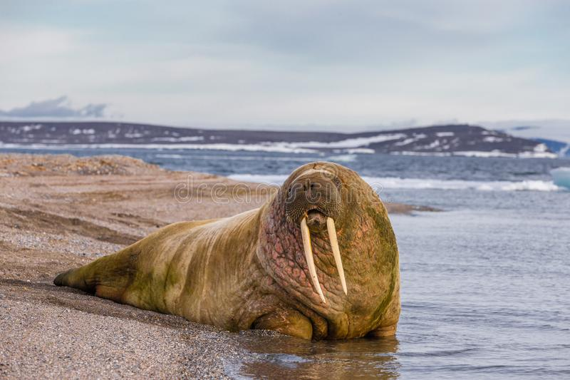 Lonely walrus on a stony bank near the water. On Svalbard archipelago royalty free stock image