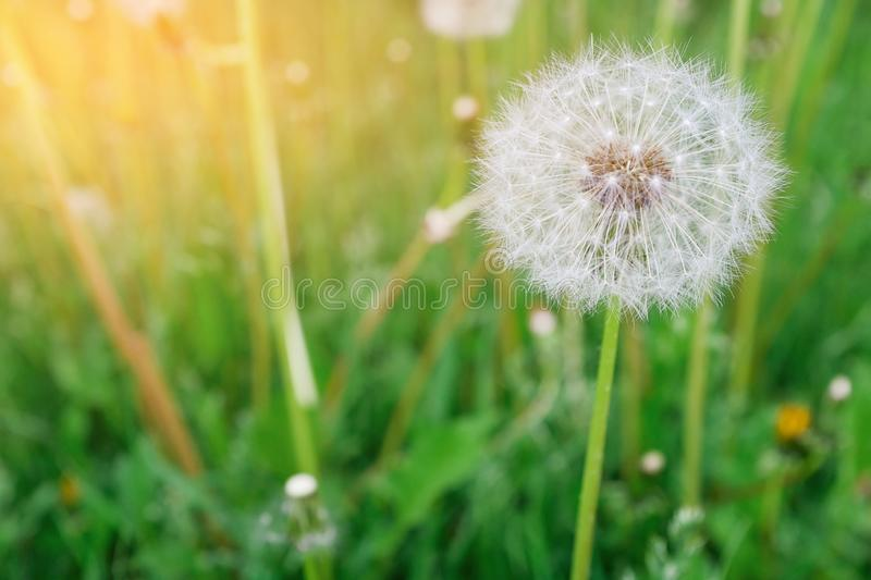 Lonely white fluffy dandelion on a background of green grass on a spring or summer day, close-up. Selective focus stock photos