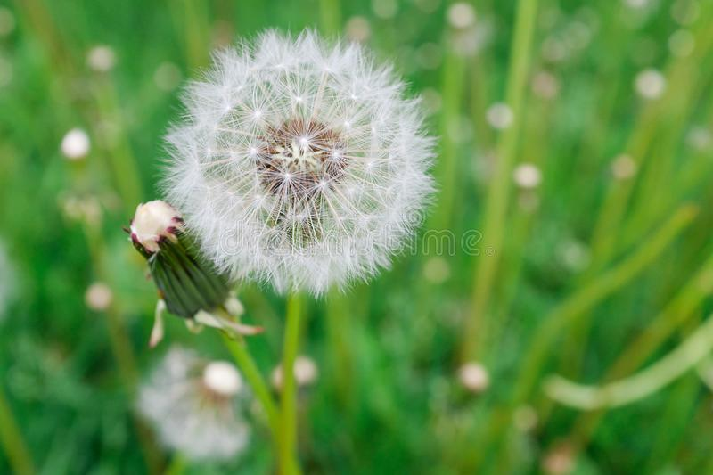 Lonely white fluffy dandelion on a background of green grass on a spring or summer day, close-up. Selective focus royalty free stock images