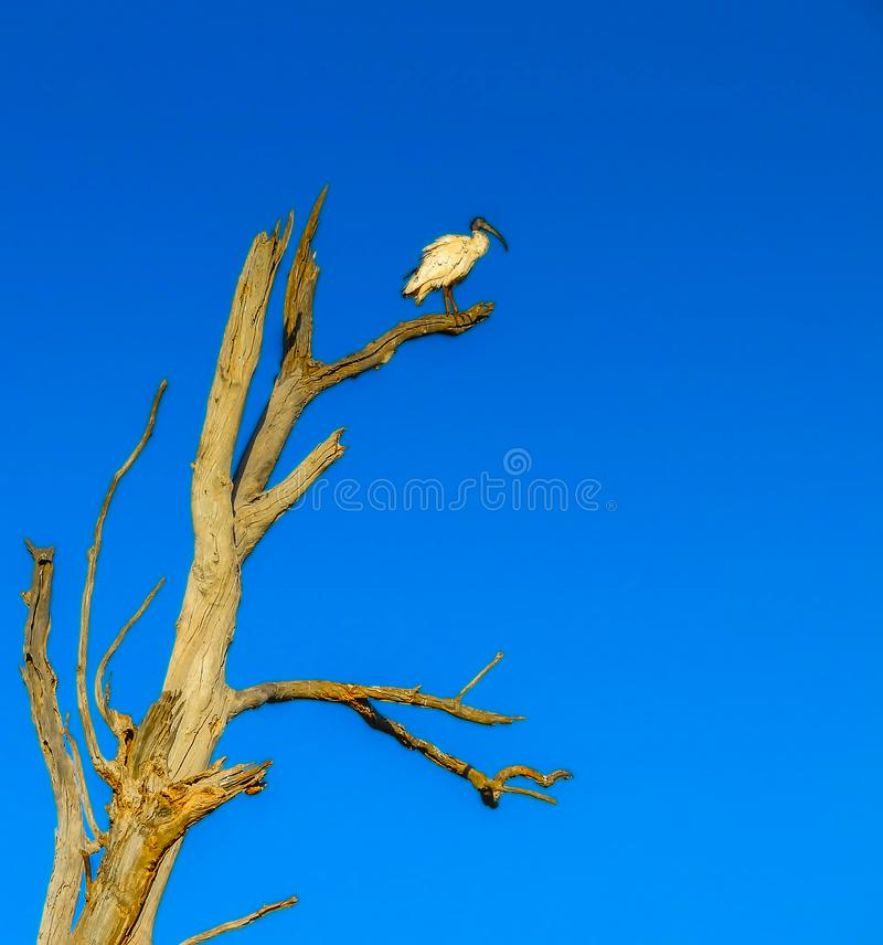 Lonely White Ibis bird in the tree stock images
