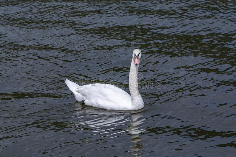 Lonely white swan in search of a girlfriend stock images
